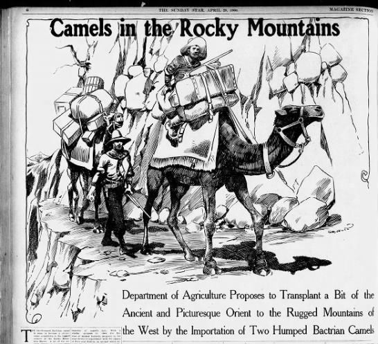 Camels in the Rocky Mountains, 1906 - n O , THE SUNDAY STAR, APRIL 29, lOOtf. 1 I X...