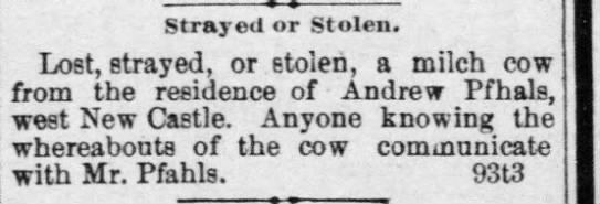Andrew Pfhals lost cow