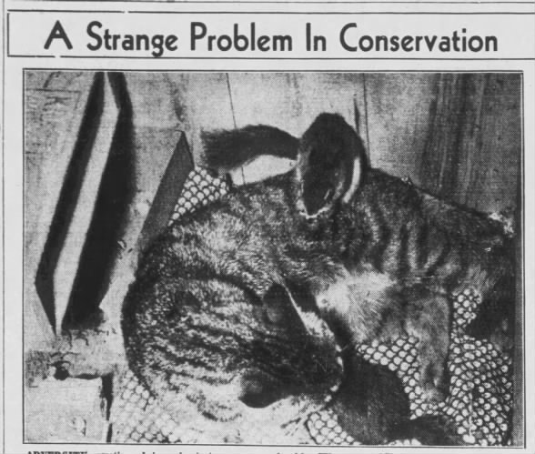 1939: Cat adopts 2 baby fox squirrels