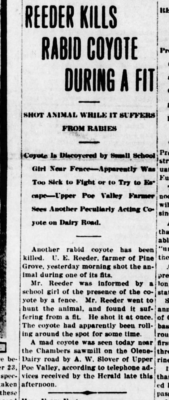 The Evening Herald, Klamath Falls, Oregon, 2 Feb 1917 U E Reeder Kills Rabit Coyote in Pine Grove - ml REEDER KILLS RABID COYOTE A FIT DURING SHOT...