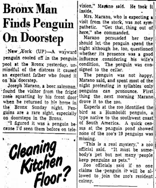 Bronx Man Finds Penguin on Doorstep (1953) -