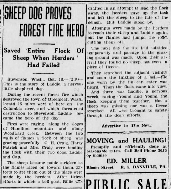 Dog is wildfire hero, 1929 - SHEEP DOG PROVES FOREST FIRE HERO Saved Entire...