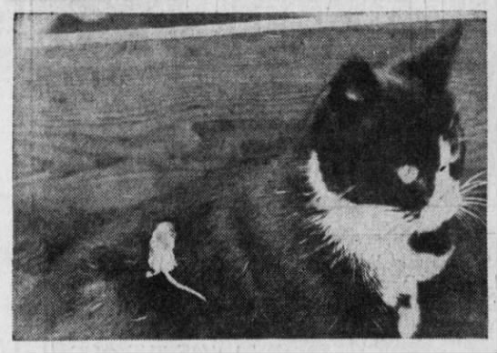 1935: Cat adopts a baby rat -
